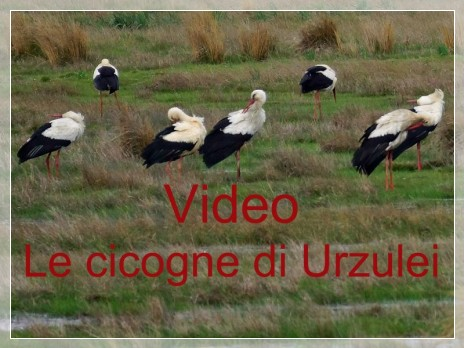 Vai al capitolo VIDEO LE CICOGNE DI URZULEI  Go to section VIDEO LE CICOGNE DI URZULEI