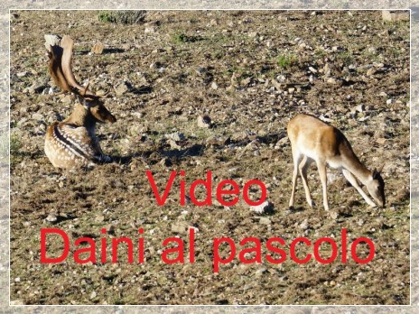 Vai al capitolo VIDEO DAINI AL PASCOLO  Go to section VIDEO DAINI AL PASCOLO