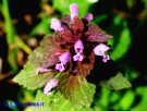 Vai al capitolo LAMIUM PURPUREUM Go to section LAMIUM PURPUREUM