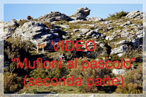 Vai al capitolo MUFLONI AL PASCOLO (SECONDA PARTE)  Go to section MUFLONI AL PASCOLO (SECONDA PARTE)