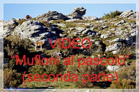 Vai al capitolo VIDEO MUFLONI AL PASCOLO (SECONDA PARTE)  Go to section VIDEO MUFLONI AL PASCOLO (SECONDA PARTE)