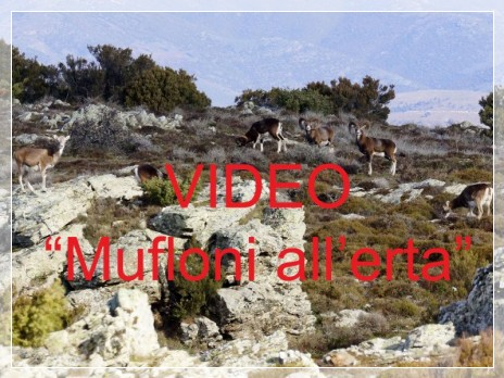 Vai al capitolo MUFLONI ALL'ERTA  Go to section MUFLONI ALL'ERTA