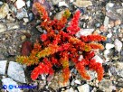 Vai al capitolo CRASSULA TILLAEA Go to section CRASSULA TILLAEA