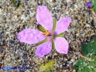 Vai al capitolo ERODIUM LACINIATUM   Go to section ERODIUM LACINIATUM