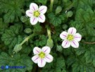 Vai al capitolo ERODIUM MARITIMUM   Go to section ERODIUM MARITIMUM