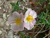 Vai al capitolo HELIANTHEMUM MORISIANUM. Go to section HELIANTHEMUM MORISIANUM