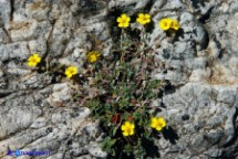 Eliantemo di Allioni (Helianthemum oelandicum ssp. allionii)