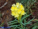 Vai al capitolo LINARIA VULGARIS   Go to section LINARIA VULGARIS