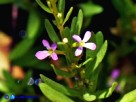 Vai al capitolo LYTHRUM THYMIFOLIA Go to section LYTHRUM THYMIFOLIA