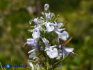Vai al capitolo SALVIA ROSMARINUS Go to section SALVIA ROSMARINUS