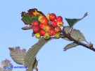 Vai al capitolo SORBUS ARIA Go to section  SORBUS ARIA