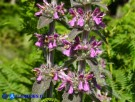Vai al capitolo STACHYS GERMANICA Go to section STACHYS GERMANICA