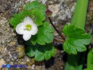 Vai al capitolo VERONICA CYMBALARIA Go to section VERONICA CYMBALARIA