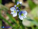Vai al capitolo VERONICA SERPYLLIFOLIA Go to section VERONICA SERPYLLIFOLIA