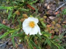 Vai al capitolo CISTUS MONSPELIENSIS. Go to section CISTUS MONSPELIENSIS