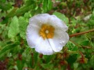 Vai al capitolo CISTUS SALVIFOLIUS. Go to section CISTUS SALVIFOLIUS