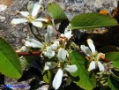 Vai al capitolo AMELANCHIER OVALIS Go to section AMELANCHIER OVALIS