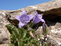 Vai al capitolo CAMPANULA FORSYTHII. Go to section CAMPANULA FORSYTHII