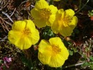 Vai al capitolo HELIANTHEMUM CROCEUM. Go to section  HELIANTHEMUM CROCEUM