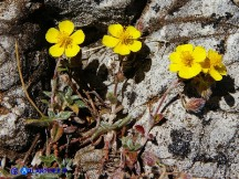 Vai al capitolo HELIANTHEMUM OELANDICUM SUBSP. ALLIONII Go to section HELIANTHEMUM OELANDICUM SUBSP. ALLIONII