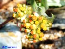 Vai al capitolo HELICHRYSUM LUTEOALBUM Go to section HELICHRYSUM LUTEOALBUM
