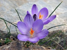 Vai al capitolo CROCUS MINIMUS. Go to section CROCUS MINIMUS